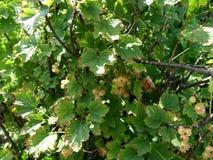 Baies mûres de la groseille blanche sur une branche dans le jardin Cu blanc Photos libres de droits