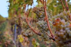 Baies mûres de raisin blanc sur le vignoble en automne images stock