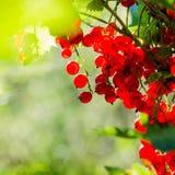 Baies mûres de groseille rouge au soleil Image libre de droits