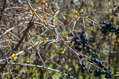 Baies noires sauvages sur un buisson d?coratif image libre de droits