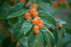 Baies oranges Photo stock