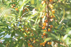 Baies oranges de Mer-nerprun sur Bush Autumn Organic Farm Harvest Photo stock