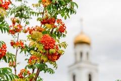 Baies oranges mûres de l'arbre de sorbe et de l'église orthodoxe à l'arrière-plan La ville du Samara, Russie Photographie stock libre de droits