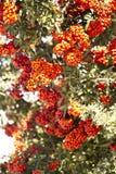Baies oranges/rouges dans les groupes photos libres de droits