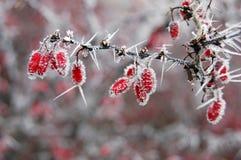 Baies rouges avec des pointeaux de gel Photographie stock libre de droits