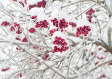 Baies rouges couvertes de neige Photo stock