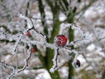 Baies rouges d'aubépine sur la branche en hiver Image libre de droits