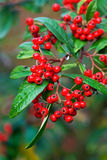Baies rouges d'automne Photo libre de droits