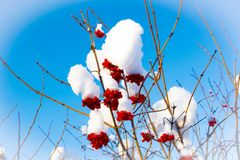 Baies rouges dans la neige photo libre de droits