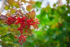 Baies rouges de branche de viburnum image stock