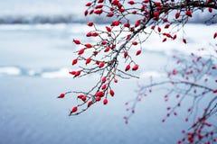 Baies rouges de chien-rose sur les branches sur le fond du photo stock