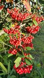 Baies rouges de cotoneaster Photographie stock libre de droits