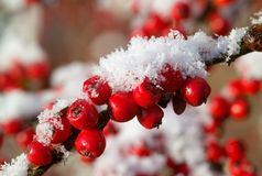 Baies rouges de Cotoneaster avec la neige Photo stock