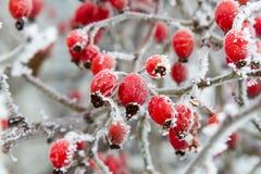 Baies rouges de cynorrhodon en plan rapproché de gel d'hiver Images libres de droits