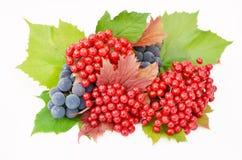 Baies rouges de guelder-rose avec des raisins sur un fond blanc Photographie stock