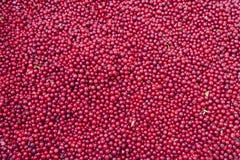 Baies rouges de myrtille Photos stock