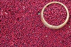 Baies rouges de myrtille Photographie stock libre de droits