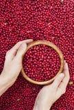 Baies rouges de myrtille dans des mains Photo stock