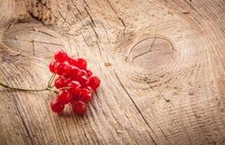 Baies rouges de viburnum Photos stock