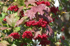 Baies rouges de viburnum Photo libre de droits