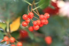 Baies rouges de viburnum Photos libres de droits
