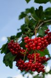 Baies rouges de Viburnum photographie stock libre de droits
