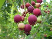 Baies rouges de viol sur un arbre de serviceberry Photographie stock