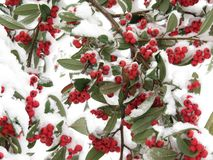 Baies rouges et feuilles vertes, couvertes de neige, image de Noël photos stock