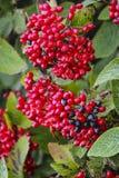 Baies rouges et noires sur un arbuste sur Lancing vers le bas dans le Sussex est, Angleterre Photographie stock