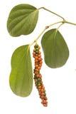 Baies rouges et vertes de grain de poivre sur la vigne d'isolement image libre de droits