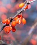 Baies rouges humides Photos libres de droits