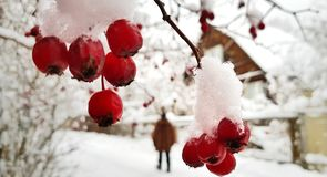 Baies rouges lumineuses d'aubépine couvertes de neige blanche sur une rue neigeuse de village un jour givré d'hiver photo stock