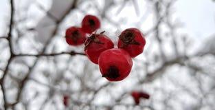 Baies rouges lumineuses d'aubépine couvertes de neige blanche sur une rue neigeuse de village un jour givré d'hiver images stock