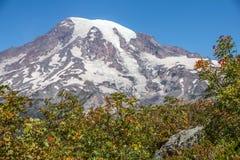 Baies rouges lumineuses de cendre de montagne avec le mont Rainier à l'arrière-plan Image stock