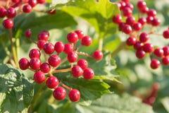 Baies rouges lumineuses juteuses d'un viburnum Photo libre de droits
