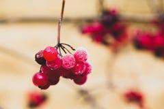 Baies rouges, mûres, juteuses, fraîches de viburnum sauvage de forêt avec de la glace photo stock