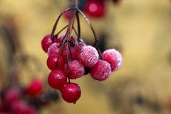 Baies rouges, mûres, juteuses, fraîches de viburnum sauvage de forêt avec de la glace image stock