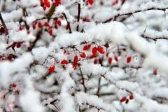 Baies rouges sous la neige Images stock