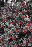 Baies rouges sur l'arbre dans le blanc de black& Image libre de droits