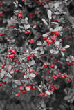Baies rouges sur l'arbre dans le blanc 2 de black& Images stock