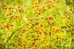 Baies rouges sur l'herbe Photographie stock libre de droits