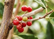 baies rouges sur un arbre Photo stock