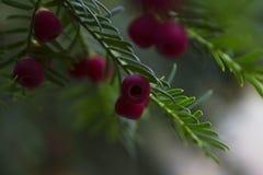 Baies rouges sur un arbre de conifère d'if Photo libre de droits