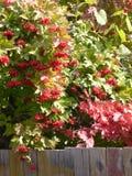 Baies rouges sur un arbre derrière la barrière images libres de droits