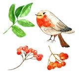 Baies rouges tirées par la main d'hiver et oiseau mignon de merle de bande dessinée Illustration d'aquarelle images libres de droits