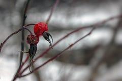 baies sèches de cynorrhodon en hiver sur un fond trouble photo libre de droits