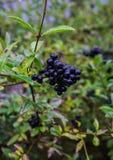Baies sauvages noires sur la branche, après la pluie images libres de droits