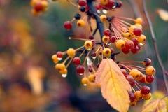 Baies sous la pluie d'automne Image libre de droits