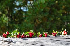 Baies sur les branches des canneberges Photo libre de droits