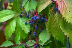 Baies sur un groupe de raisins sauvage Images libres de droits